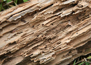 Termite-damaged wood showing rotting galleries outside of a Irmo home